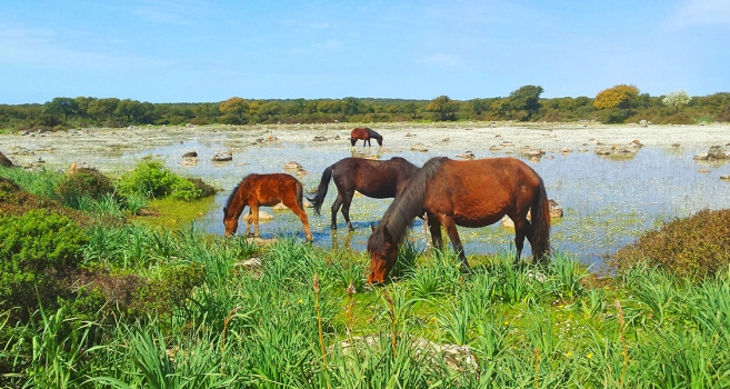 Sardinian wild horses